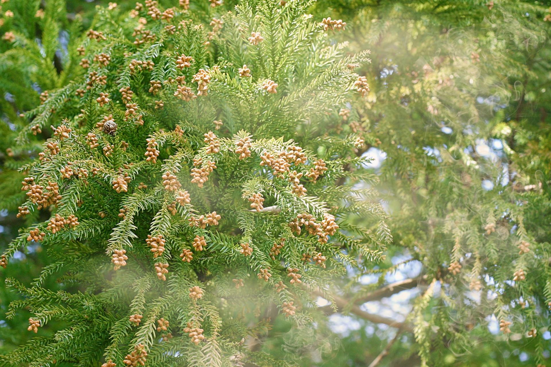 花粉症の季節が到来です、、、